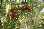 Wildtomate
